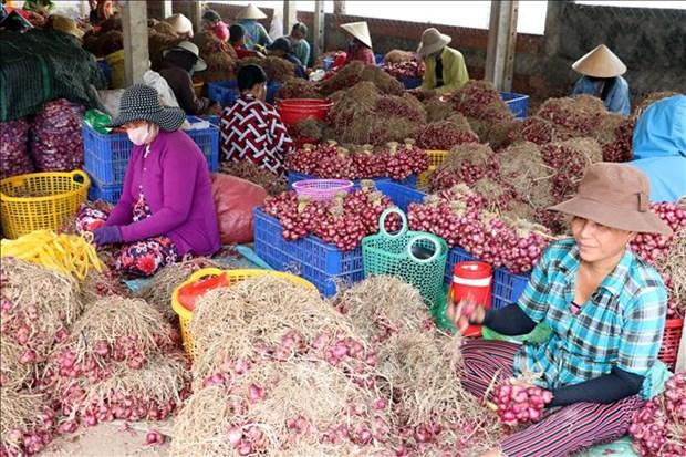 A Soc Trang, les maraichers de Vinh Chau s'occupent de leurs oignons violets hinh anh 1