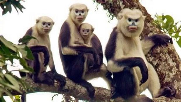 Efforts pour conserver une espece de primate rare a Ha Giang hinh anh 1