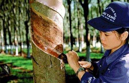 Le Vietnam exporte 905.000 tonnes de caoutchouc en huit mois hinh anh 1