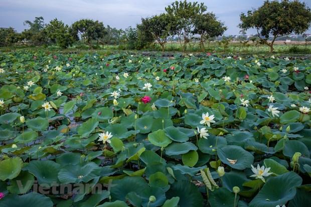 Poesie des lotus en banlieue de Hanoi hinh anh 1