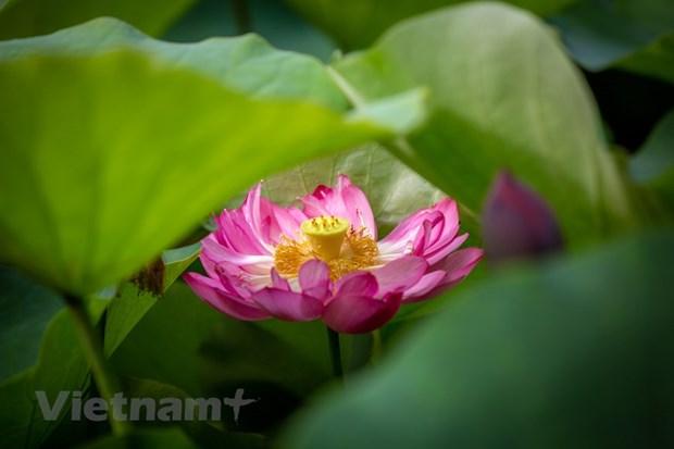 Poesie des lotus en banlieue de Hanoi hinh anh 10