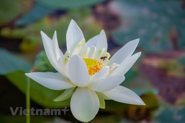Poesie des lotus en banlieue de Hanoi hinh anh 13
