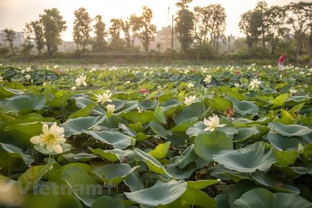 Poesie des lotus en banlieue de Hanoi hinh anh 2