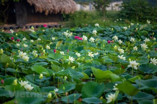 Poesie des lotus en banlieue de Hanoi hinh anh 3