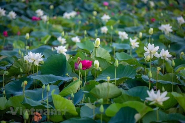 Poesie des lotus en banlieue de Hanoi hinh anh 4