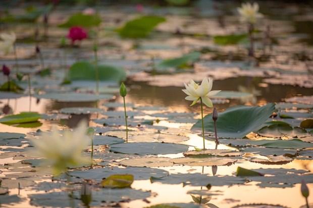 Poesie des lotus en banlieue de Hanoi hinh anh 5