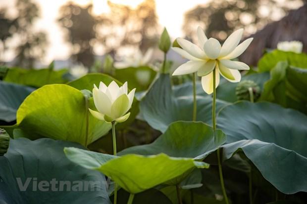 Poesie des lotus en banlieue de Hanoi hinh anh 6