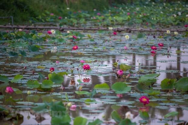 Poesie des lotus en banlieue de Hanoi hinh anh 8